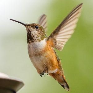 Hummingbird by Artist Joanna Ceciliani